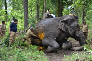 Indian members of the forest elephant squad treat an injured male wild elephant in theTaipu forest under Kurseong division, some 25 kms from Siliguri on July 1,2014.  Indian forest wildlife squad located the injured elephant and, with the help of the elephant squad team and two domesticated elephants, they were able to tranquilise the wild elephant and successfully treat it, a forest official said.   AFP PHOTO/ Diptendu DUTTA        (Photo credit should read DIPTENDU DUTTA/AFP/Getty Images)